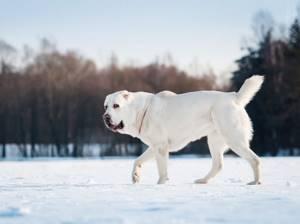 Имя для собак породы басенджи