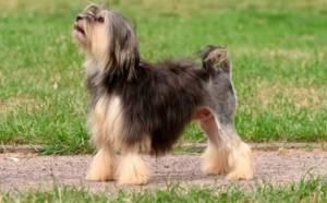 Малая львиная собачка: фото и описание.
